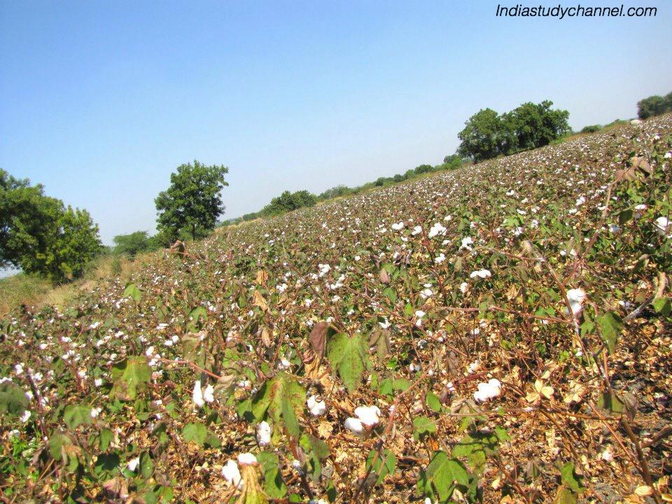 Beautiful picture of cotton crop in Pottipalli