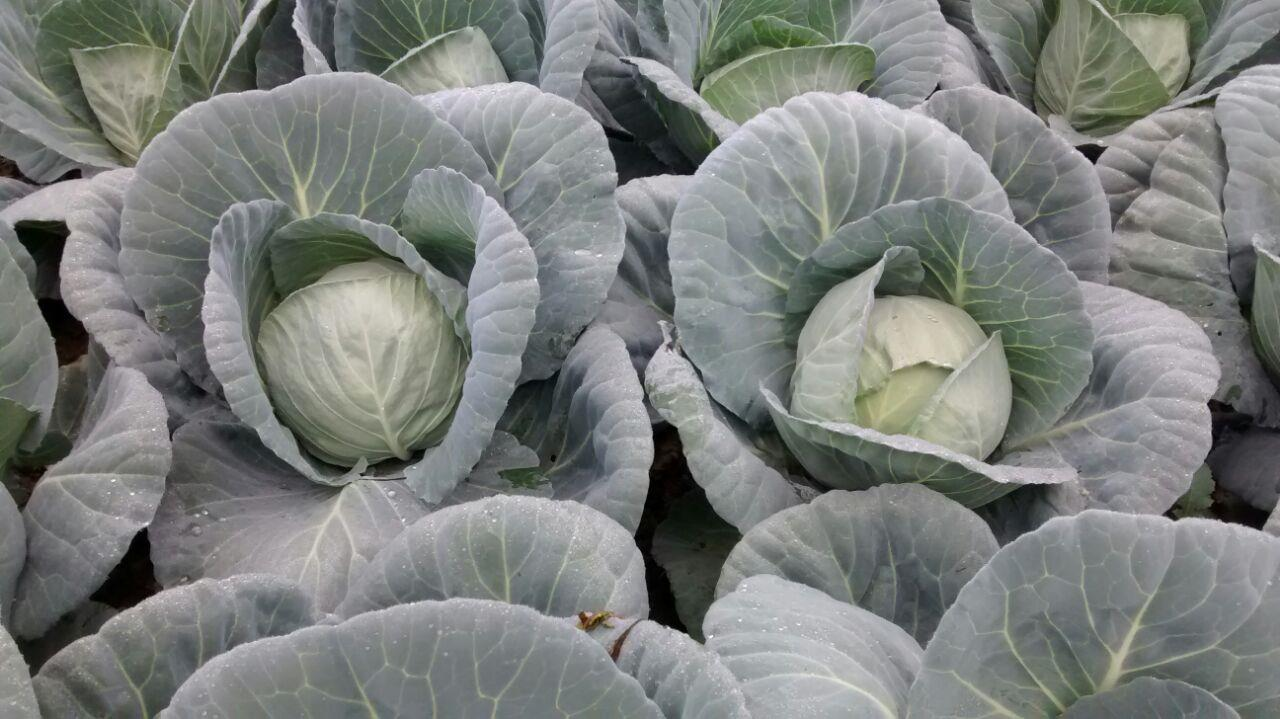 Cabbage growing in Haryana
