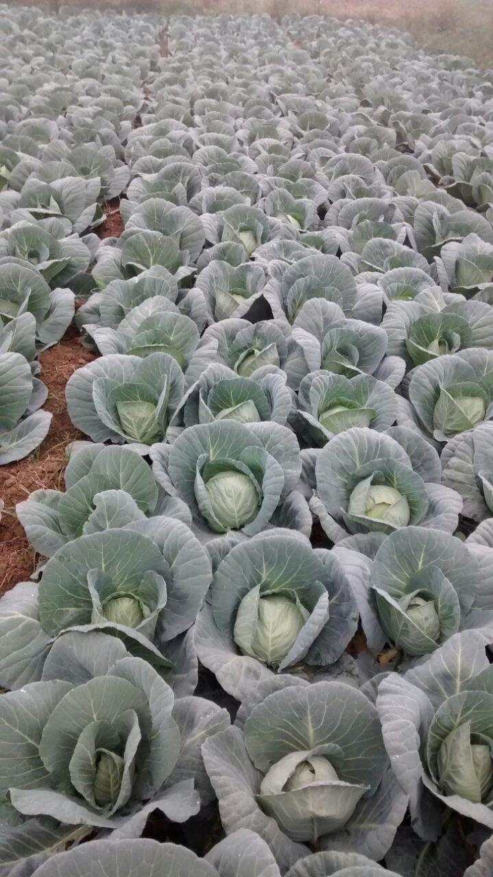 Cabbage field in Haryana