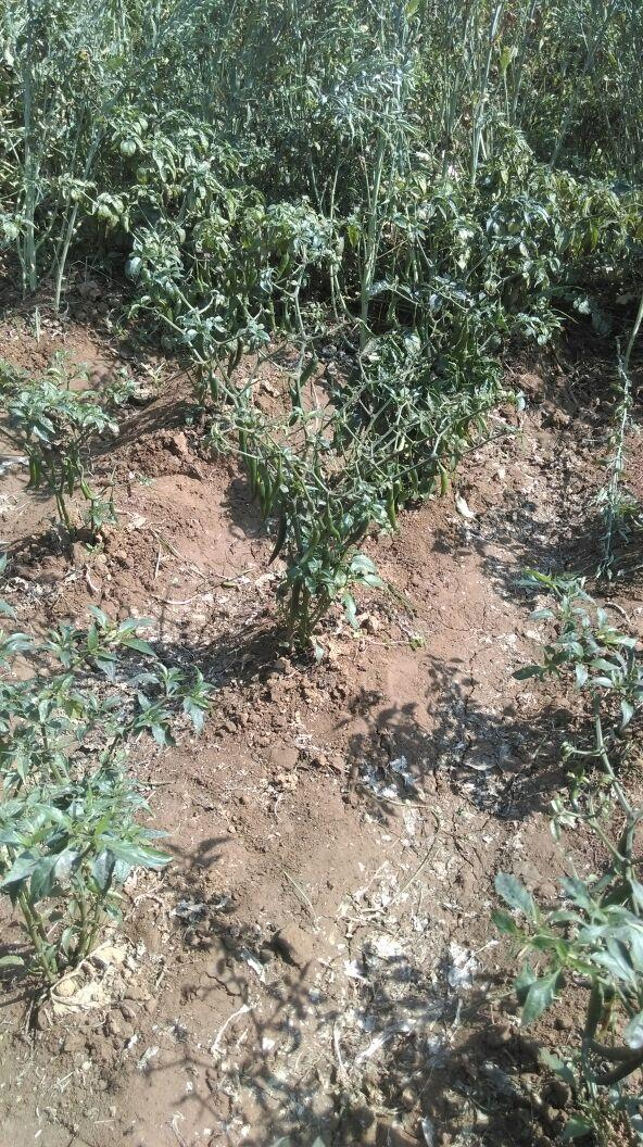 very Fertile soil need to grow chili crop