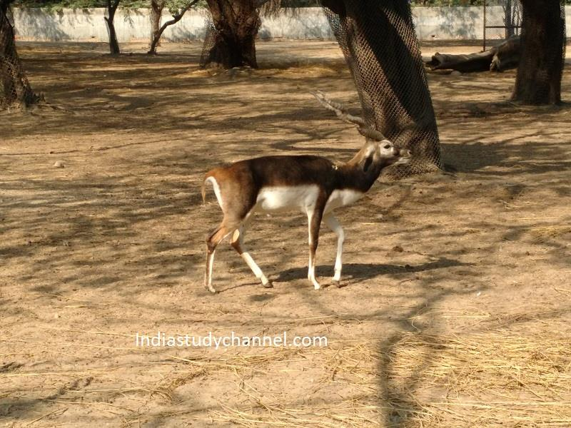 Deer roaming freely in Zoological park, Delhi