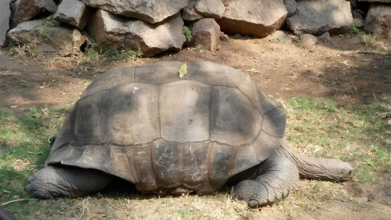 Very Old Tortoise In Nehru Zoo Hyderabad