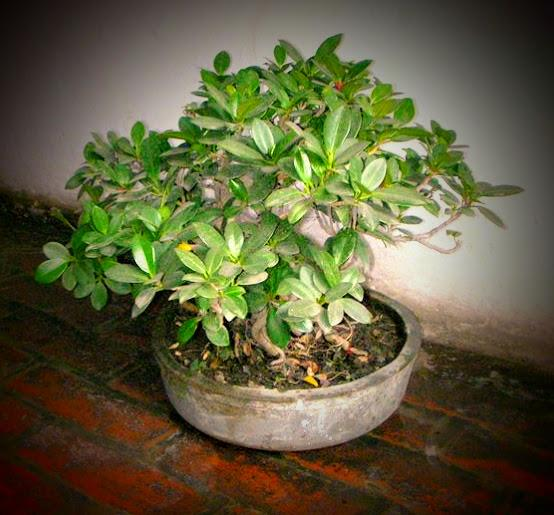 Beautiful ficus bonsai a natural air purifier