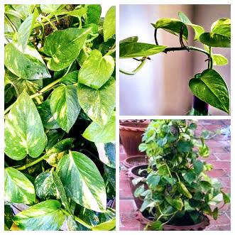 Pothos or money plant makes good indoor plants
