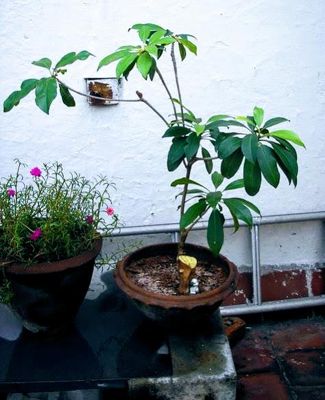 Hawain Umbrells Plant Bonsai