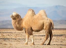 Bactrian camel (Image courtesy: Google)
