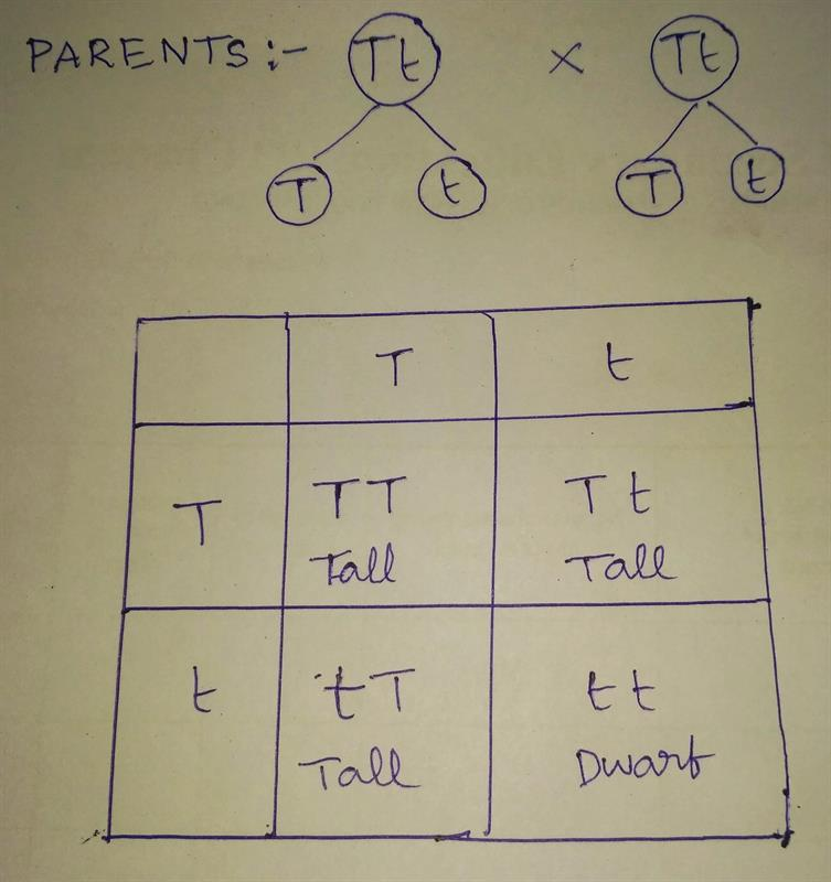 Punnet square Board:-