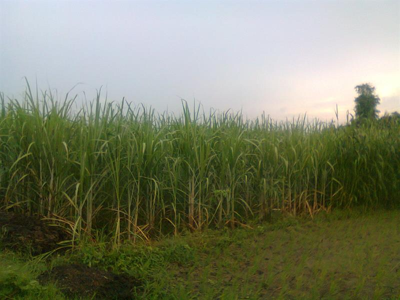 Sugarcane farm at Basti, UP