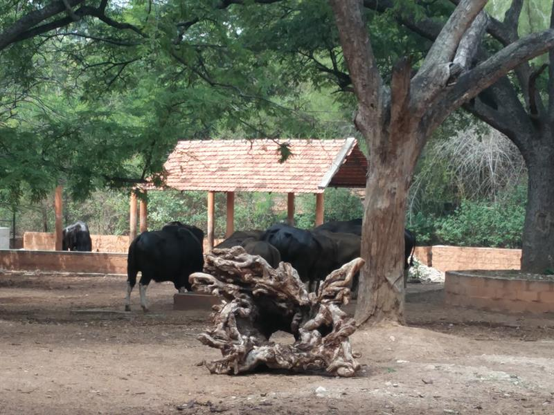 Bulls at Sri Chammarajendra Zoological Gardens,Mysore.