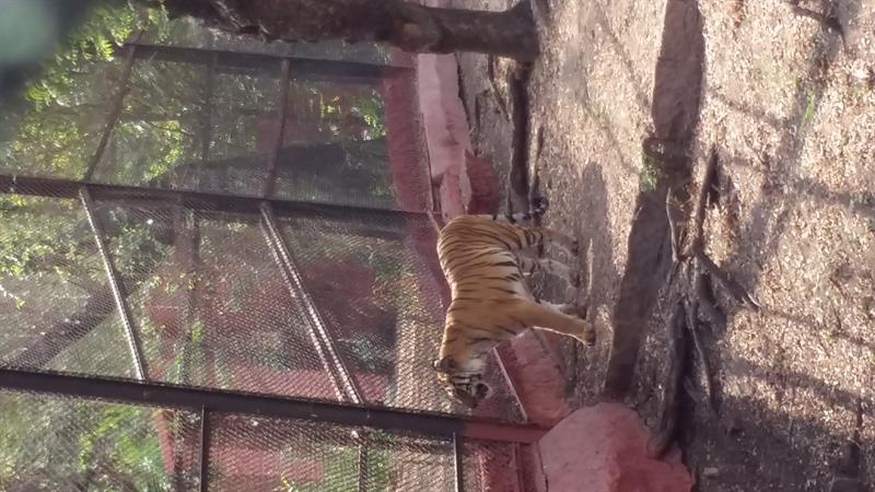 A Royal Bengal tiger in -Nehru-Zoological-ParkHyderabad