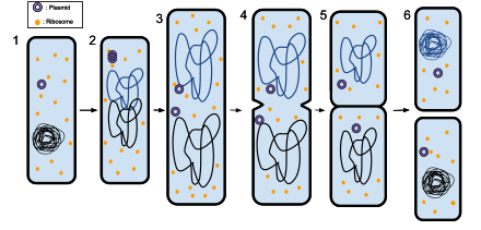 Binaryfission in Bacteria