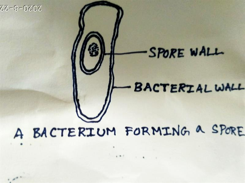Spore formation in Bacteria